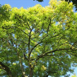 Houppier d'un frêne fructification ariege