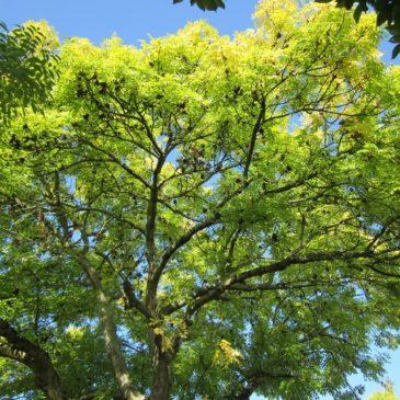 Le Frêne un arbre très présent en Ariège